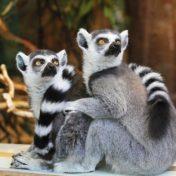 Lemuren Päarchen schaut zur Seite